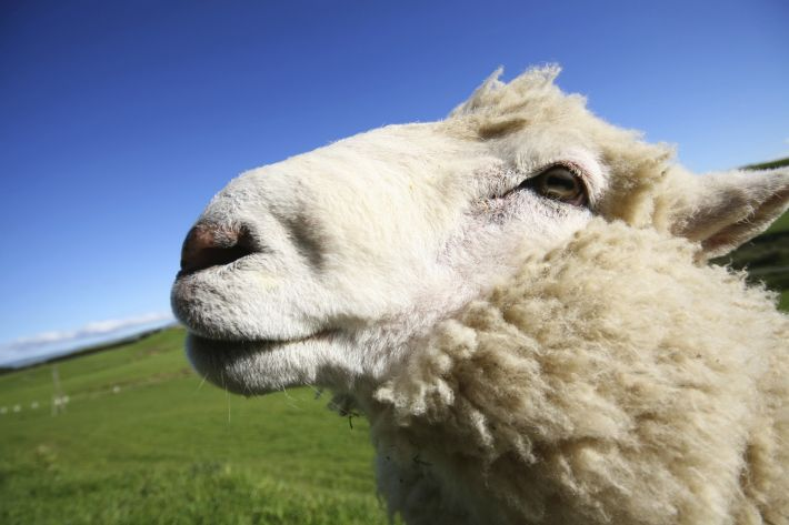 The first thyroid extracts were obtained from sheep
